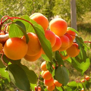 abrikosas raudonskruostis