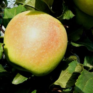 Сорт-яблони-Заря-Алатау