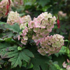 Azuolalape hortenzija