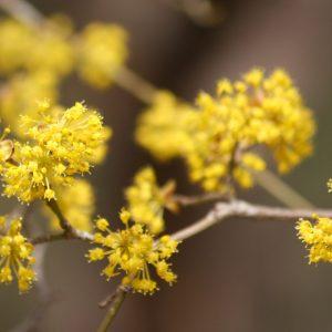 cornus mas golden glorie Tuinboom.jpg2-600x600