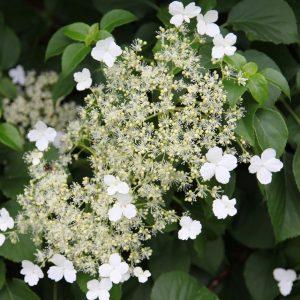 hortenzija laipiojanti