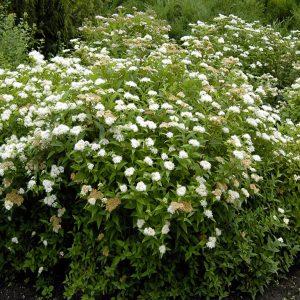 lanksva albiflora