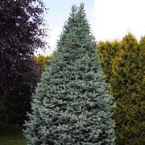 Abies_lasiocarpa_Compacta3_big
