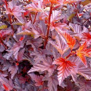 Physocarpus_opulifolius_Andre-300x300