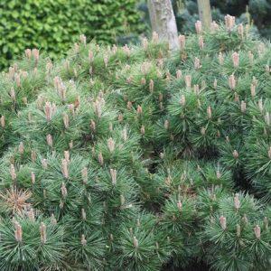 Pinus_nigra_Brepo1_big_1